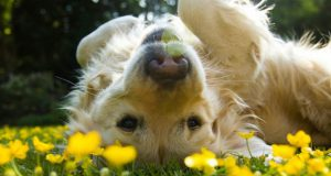 psi i polen petface