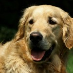 Ranice na nosu psa!