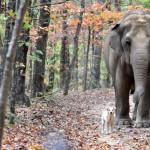 NAJEMOTIVNIJA PRIČA MESECA: Slon Tara u surli donela uginulu prijateljicu Belu!