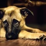 IZNENAĐUJUĆI REZULTATI: Samo 5% buva živi NA koži psa. Ostali – u našoj kući!