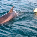 PRAVI PRIJATELJI: Labrador svakog dana pliva nekoliko stotina metara kako bi se družio sa delfinom Dugijem! VIDEO