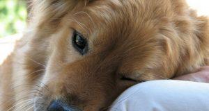 pas koji oseca bol petface