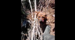 spasio štene petface