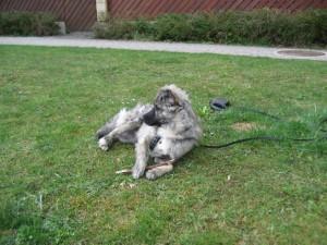 Sećate se Bebana, šteneta polivenog kiselinom? UDOMLJEN JE!