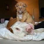 Ovo je Kilo, pit bul spašen u poslednjim minutima, pred eutanaziju!