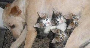 šest mačića petface