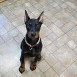 Verovanje: Kalcijum drži uši psa uspravno – tačno ili ne?