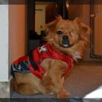 NEPRESTANI SUKOB MIŠLJENJA: Za ili protiv oblačenja pasa?