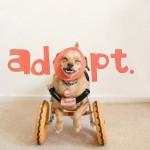"""""""Spasila sam psa minut pre eutanazije, sada srećno trči u svojim kolicima""""! (FOTO)"""