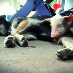 FENOMENALNO: Prase Mašo i pas Miljenka – heroji poplava – našli nove domove!