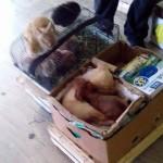 """SRAMOTA: U centru Beograda, na ulici, prodaje rasne pse za 100 eura! Oni """"bez papira"""" – 5.000 dinara!"""