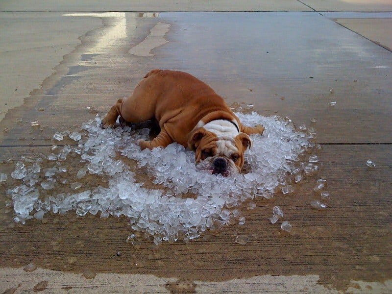 rashladite psa petface
