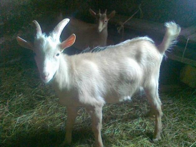 spasimo kozu petface