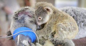 koala petface
