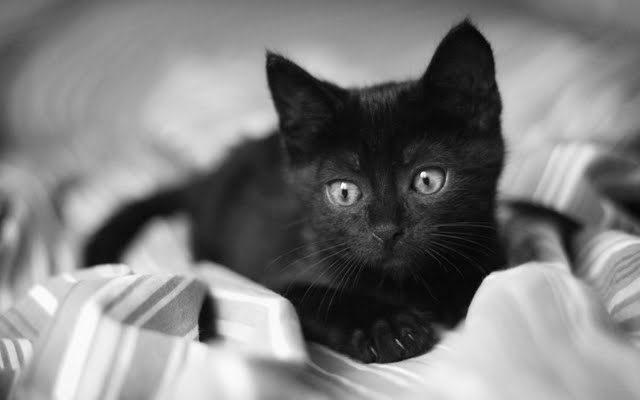crna macka petface