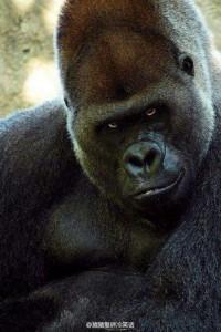 gorila maneken petface