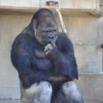 ZVEZDA DANA: Shabani, gorila maneken, zbog koga žene dolaze u zoo vrt!