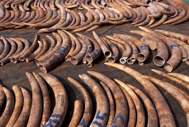 izumiranje slonova petface