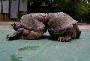 kornjaca petface
