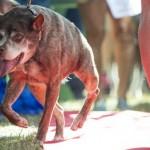 Priznanje: Kvazimodo, najružniji pas za 2015. godinu! (FOTO)