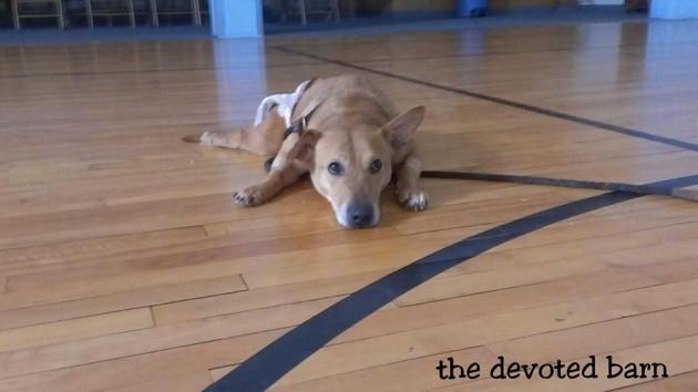 pas čelične volje petface
