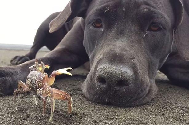 pas i kraba petface