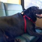 BEOGRAD: Vozač GSP se uplašio labradora i nije hteo da krene dok vlasnik sa psom ne izađe!