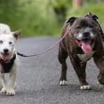 LJUBAV: Slepi pas Glen i staford Buzz su nerazdvojni prijatelji! (FOTO, VIDEO)