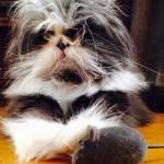 """NOVA WEB ZVEZDA: Ačum je mačak – """"lep u svojoj ružnoći"""" sa izgledom naučnika!"""