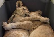 Fotografija dva zagrljena lava petface