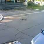 NOVI BEOGRAD: Patka i pačići na ulicama Beograda kao uzorni građani! (VIDEO)