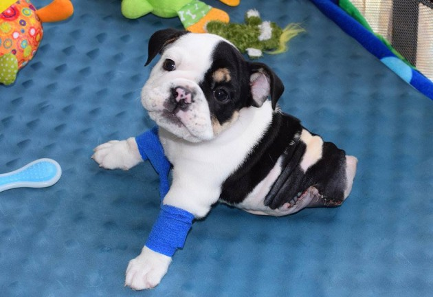 buldog rođen sa 2 noge petface