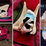 Inspiracija dana: Buldog rođen sa dve noge, je štene u koje ćete se zaljubiti!