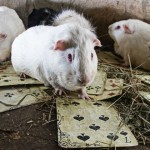 DIRLJIVE FOTOGRAFIJE: laboratorijske životinje na slobodi