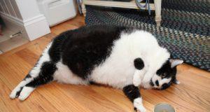 mačka teška neverovatnih 14.5 kilograma