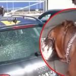 UZNEMIRUJUĆE: Bokser Fiđi uginuo, jer su ga neodgovorni vlasnici ostavili u automobilu! (VIDEO)