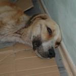 BOR: Uginuo pas kog je vlasnica izgladnjivala i držala na lancu mesecima!