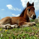 SJAJNO: U Lapovu, kod Kragujevca, se otvara prvi azil za konje u Srbiji!