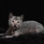 NOVOSTI: ovo je mačka vukodlak, koja svoj poseban izgled duguje genetskim promenama