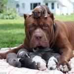 NEŽNI DŽIN U RODITELJSKOJ ULOZI: najveći pitbul na svetu postao je otac