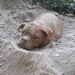 OKRUTNO: Ovo je pas koji je zakopan živ, a za počionioca ovog zlodela optužen je…NJEGOV VLASNIK
