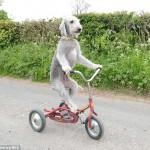 ATRAKCIJA: pas vozi tricikl sa neverooovatnim uživanjem!