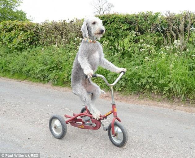 pas vozi tricikl petface