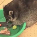 LJUBIMAC KAKAV SE SAMO MOŽE POŽELETI: ovaj rakun pere sve po kući (VIDEO)