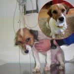 Džipsijeva priča: Pas spašen iz azila u Požegi danas je pravi GOSPODIN!