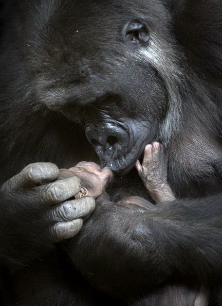Gorila izgubila bebu petface