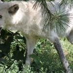 Siva vučica u zarobljeništvu.