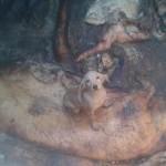 VRDNIK: Psi bačeni u rupu sa leševima životinja. Daniela uspela da ih izvuče žive!