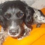 SUBOTICA: Spašen ulični pas koji je pogođen sa tri hica iz puške!