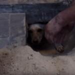 Živa kuja Zazidana ispod trotoara preživela DVA dana! (VIDEO)